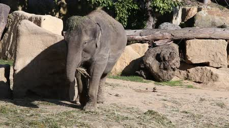 elefant : Lonely Asiatic Elephant eating hay. Stock Footage