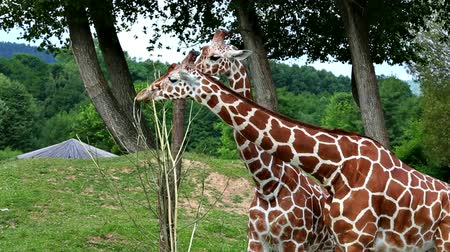 subspecies : Reticulated giraffe (lat. Giraffa camelopardalis reticulata). Subspecies of giraffe native to the Horn of Africa. Stock Footage