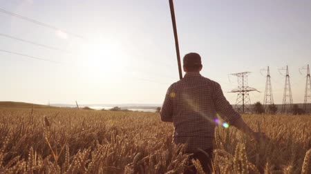 熊手 : A farmer with a rake walks through a wheat field, at sunrise 動画素材