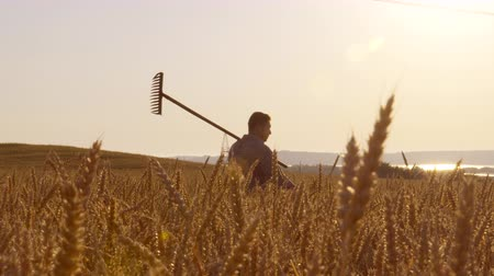 ekili : A wide shot of a farmer passes through a wheat field, at sunrise in 4K Stok Video