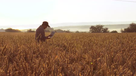 termés : Farmer with a laptop in the field checks the quality of wheat