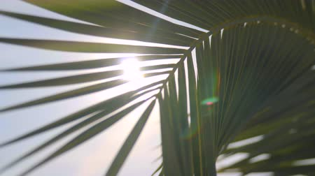 odstín : Palm branch against the sky and the rays of the sun
