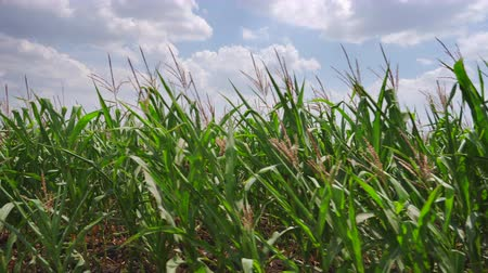 corn crop : Steadicam Moving along corn stalks on a hot summer day Stock Footage