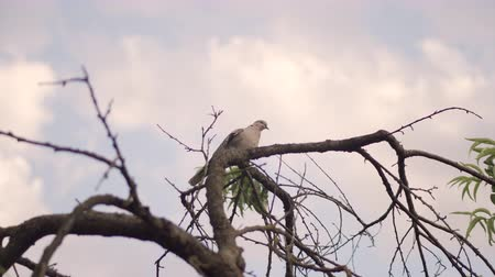 Wild dove sits on a crooked branch