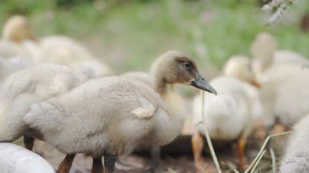 csip : Domestic ducklings drink water, pinch grass, replenish food supplies