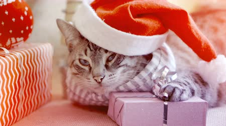 pozlátko : Cute domestic cat in a Christmas hat lies next to gifts, laying its paw on a gift