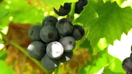 цвет бордо : Dark grapes in the sun. Fruit and grape leaves. Close up. Стоковые видеозаписи