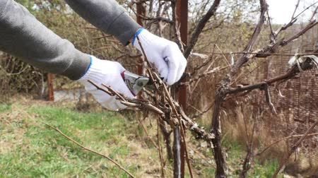 secateur : Close up shot of pruning grapevine branches in spring. Stock Footage