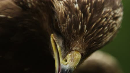 brown : Epic close-up macro portrait of a predator bird blinking its eyes and has opened beak. Stock Footage