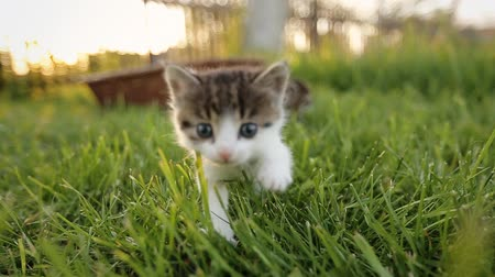 kotě : Three cute kittens walking on the grass. Dostupné videozáznamy