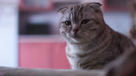 pounce : Scottish fold cat look around. Whisks color.