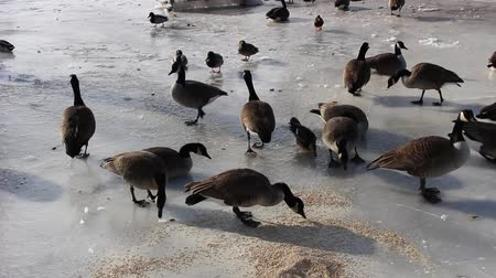 Feeding ducks and geese in the winter