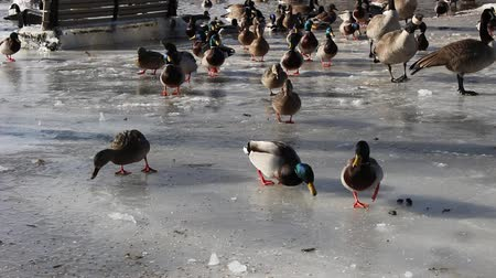 chapéu : feeding geese and ducks in the winter time