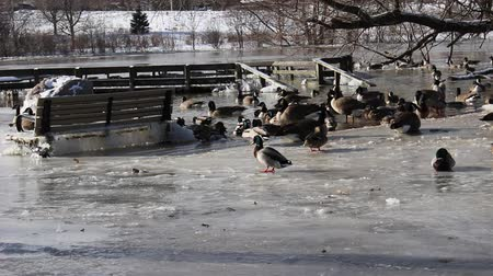 ducks and geese in the winter time Stock mozgókép