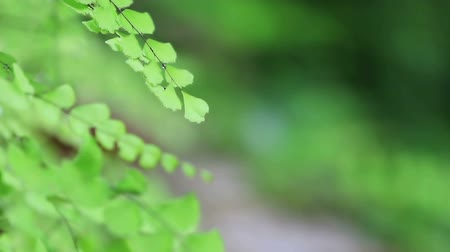 furl : Fern in breeze, nature green background