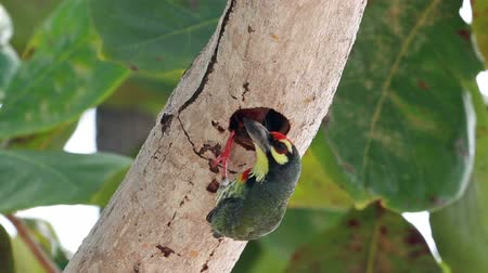 coppersmith barbet : HD Footage of Coppersmith barbet feeding baby
