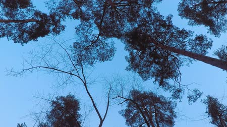 hiss : Old pine trees (pinery) sway in wind against evening sky. Trunks of trees swaying, hissing of wind in branches. Twilight. Windy evening, evening breeze Stock Footage