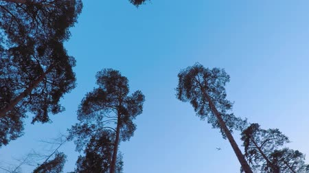 hiss : Old pines (pinery) sway in the wind against the evening sky. Tree trunks swaying, hissing branches in the branches. Dusk. Windy evening, evening breeze. Plane flies. Stock Footage