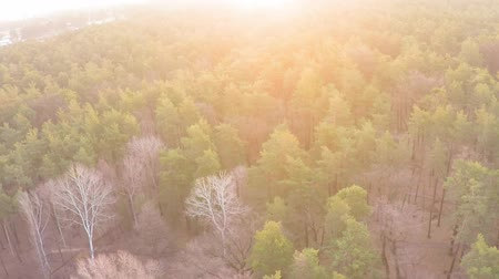backround : Aerial view of a pine-deciduous forest in early spring at dawn