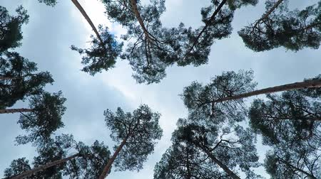 hiss : Old pine trees (pinery) sway in wind against sky. Trunks of trees swaying, hissing of wind in branches.