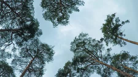 лесное хозяйство : Old pine trees (pinery) sway in wind against sky. Trunks of trees swaying, hissing of wind in branches.