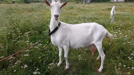 rokfor : White goat with long horns grazes on a green meadow near the railway in the village of Ukraine