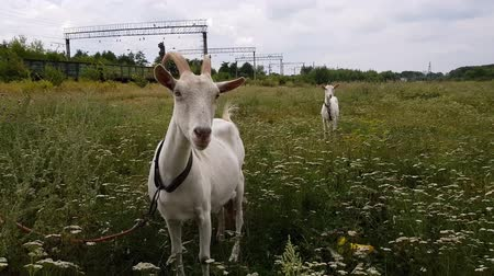 camomila : White goat with long horns grazes on a green meadow near the railway in the village of Ukraine