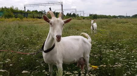 kecske : White goat with long horns grazes on a green meadow near the railway in the village of Ukraine