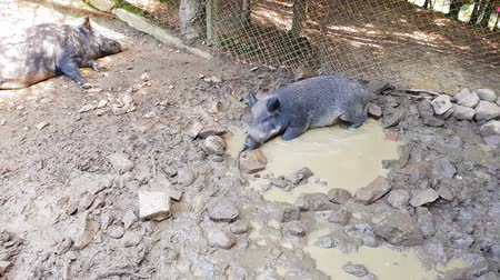 de faia : Wild pigs Sus scrofa with young animals wallow in a swamp in a zoo in a pine forest in summer