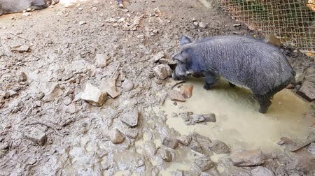 tag : Wild pigs Sus scrofa with young animals wallow in a swamp in a zoo in a pine forest in summer
