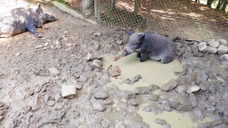 yem : Wild pigs Sus scrofa with young animals wallow in a swamp in a zoo in a pine forest in summer