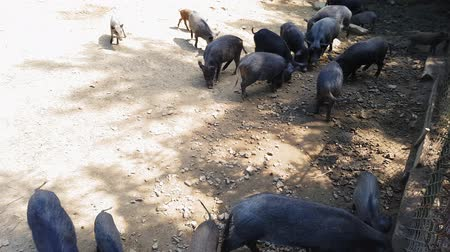 yem : Wild pigs Sus scrofa with young animals gather food in a zoo in a pine forest in summer Stok Video