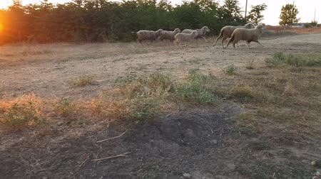 koyun : A flock of sheep returning home from a pasture at sunset. Filming in the countryside during sunset