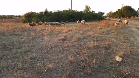 A flock of sheep returning home from a pasture at sunset. Filming in the countryside during sunset