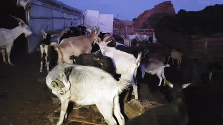Goats and sheep were herded for the night in an eastern village in summer