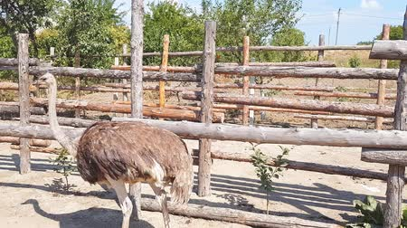 avestruz : Ostriches walk behind a wooden fence of an ostrich farm in a Ukrainian village in early autumn.