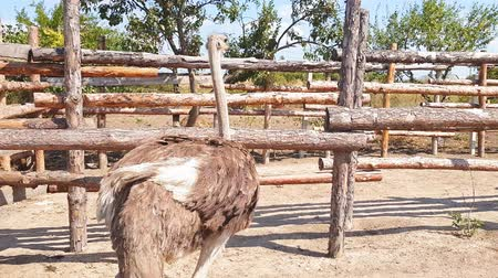 struisvogel : Ostriches walk behind a wooden fence of an ostrich farm in a Ukrainian village in early autumn.