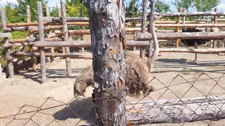 pštros : Ostriches walk behind a wooden fence of an ostrich farm in a Ukrainian village in early autumn.