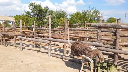 from behind : Ostriches walk behind a wooden fence of an ostrich farm in a Ukrainian village in early autumn.