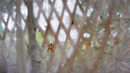 fobi : Batik golden web spider hanging in big web swaying in the wind, slow motion 4k. Spotted golden web spider.