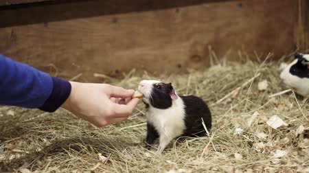 porquinho : Pet eats in hands of man. Girl feeding pet Guinea pig closeup in contact zoo, concept of tenderness , caress, trust