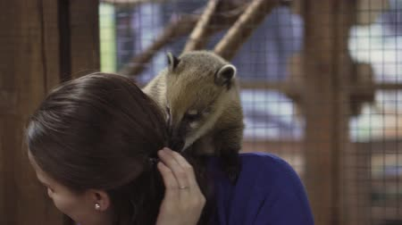 raccoon : Coati sits on the shoulders of a cute girl and pokes her nose into her hair. Stock Footage