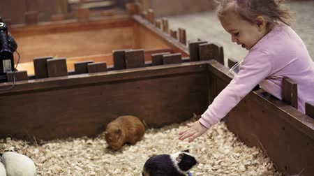 świnka morska : Pet eats in hands of man. Girl feeding pet Guinea pig closeup in contact zoo, concept of tenderness , caress, trust