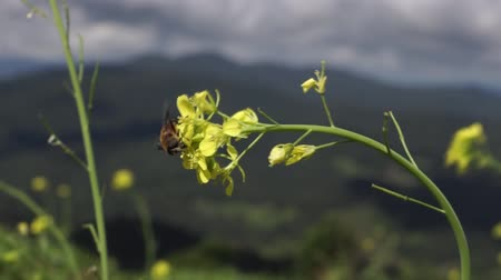 bee on yellow flower of Chinese mustard green