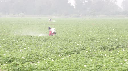 Two Farmers Chemical Spraying in Potato Farm Wideo