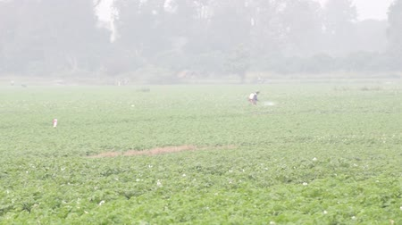 Chemical Spraying in Potato Farm Wideo