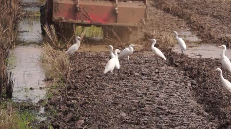 Tractor plowing and Plumed Egret Bird Wideo