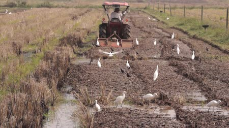 Tractor plowing and Bird in Rice Field