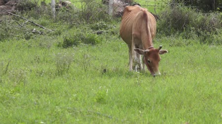 cow grazing with bird Wideo
