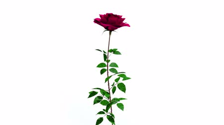 rostoucí : Time lapse of grows and opening red rose on white background.